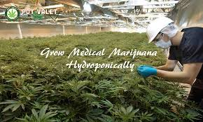 Image result for hydroponic marijuana
