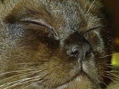 Sable <b>Burmese Kitten</b> - 6 months old - sleeping kitten | Burmese ...