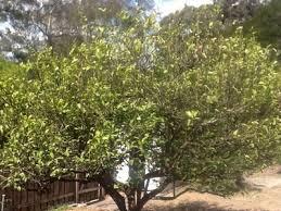 lemon tree x: lemon tree citrus x limon img jpg lemon tree citrus x limon