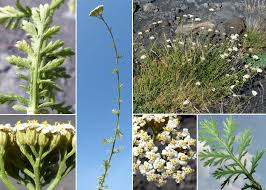 Achillea ligustica All. - Portale sulla flora del Parco Nazionale dell ...