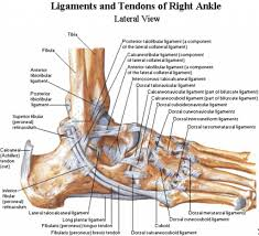 muscle anatomy of the ankle foot structure diagram foot and ankle      photos of the  quot muscle anatomy of the ankle quot