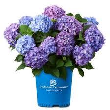 Endless Summer 2 Gal. Bloom Struck Hydrangea Plant with <b>Pink</b> ...