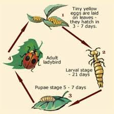 Image result for nz native ladybird life cycle