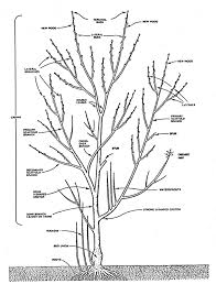 nmsu  tree pruning techniques   anatomical diagram of tree parts relevant for pruning
