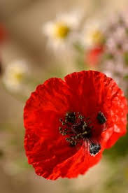 <b>chinese poppy</b> -- my Floating Fantasy | <b>Flowers</b> & leaves | <b>Poppies</b> ...