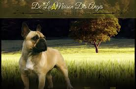 <b>De La Maison Des</b> Anges - French Bulldogs