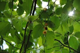 Corylaceae - arpapollini