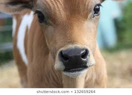 Cute <b>Baby Cow</b> Images, Stock Photos & Vectors | Shutterstock