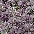 Pacific Bulb Society | Allium acutiflorum