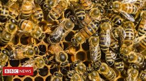 Honeybee <b>venom</b> 'kills some breast cancer cells' - BBC News