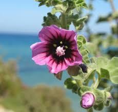 Lavatera arborea (Tree Mallow) : MaltaWildPlants.com - the online ...