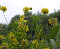 Trifolium campestre Schreb. {ID 7879} - Trifoglio campestre - Forum ...