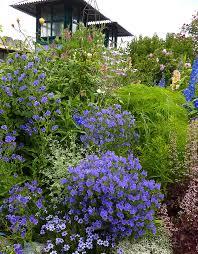 Echium plantagineum 'Blue Bedder' - Buy Online at Annie's Annuals