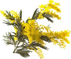 """Résultat de recherche d'images pour """"gifs mimosa"""""""