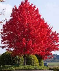 Image result for Red Maple