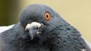 תוצאת תמונה עבור pigeon