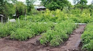 Как избавиться от <b>слизней</b> и улиток в огороде навсегда ...