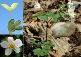 Isopyrum thalictroides L. - Portale alla flora del Parco Nazionale ...
