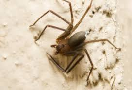 How to Get Rid of Brown Recluse Spiders | PestMall Blog