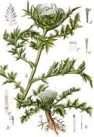 Carlina acaulis Stemless Carline Thistle PFAF Plant Database