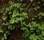 Family page: Selaginellaceae - Flora of Zimbabwe