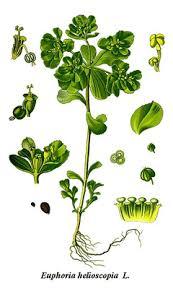 Euphorbia helioscopia Madwoman's Milk PFAF Plant Database