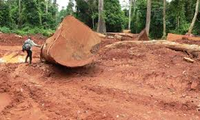 As demand for African timber soars  birds pay the ultimate price Legal and illegal logging increased more than     percent in Ghana during a    year period  Credit  Nicole Arcilla