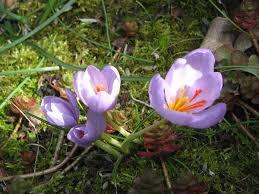 Crocus longiflorus - Wikipedia