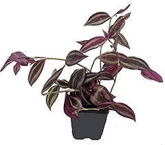 Amazon.com: Purple Wandering Jew (Tradescantia zebrina pendula ...