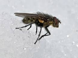 I WAS UNABLE TO GET A PHOTO OF BOBBIE SUE, BUT SHE LOOKED A LOT LIKE THIS FLY, EXCEPT BOBBIE SUE WAS THINNER AND WORE HER ANTENNAE A LITTLE LONGER. AND SHE WASNT HIKING THROUGH THE ICE.