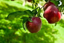 Image result for picture of apple tree