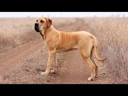 <b>Фила</b> бразилейро – собака для опытных собаководов - YouTube