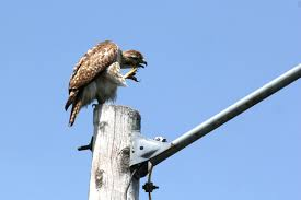 Image result for helper hawk
