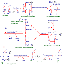 glycolysis  function of glycolysis  stages of glycolysis   biology    glycolysis pathway diagram