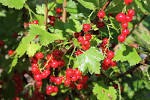 Images & Illustrations of currant bush