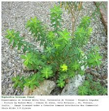 Euphorbia bivonae [Euforbia di Bivona] - Flora Italiana