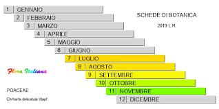 Ehrharta delicatula [Ehrharta tenera] - Flora Italiana