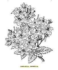 Campanula isophylla - Wikipedia