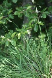 Sesleria italica (Pamp.) Ujhelyi - Portale alla flora del Parco ...