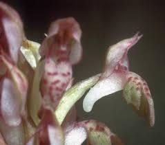 Orchis coriophora L. | Flora of Israel Online