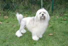 <b>Little Lion Dog</b> – Brit