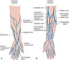 Arm Veins For <b>Venipuncture</b>   ... veins dorsal aspect of the hand b ...