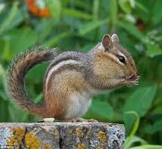 Image result for chipmunk pictures
