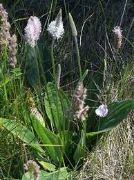 Hoary Plantain, Plantago media - Flowers - NatureGate