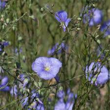 Linum austriacum subsp. collinum
