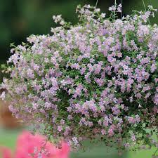 Цветок <b>бакопа</b> ампельная: фото растения, выращивание из ...