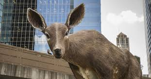 Illinois officials warn drivers to watch for <b>deer</b> during mating season ...