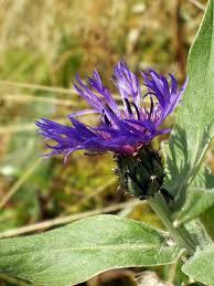 Centaurea montana - Wikipedia