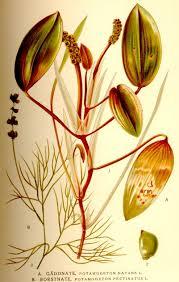 Potamogetonaceae - Wikipedia