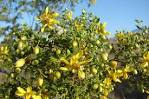Images & Illustrations of creosote bush